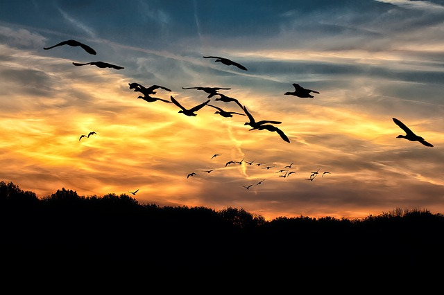 geese.