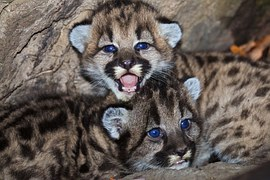 mountain-lions-1142885__180
