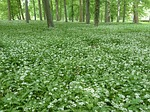 wild-bear-garlic