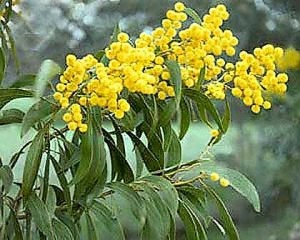 golden-wattle