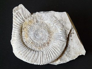 fossilised shell